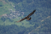 2 young bearded vultures born in the Aosta Valley